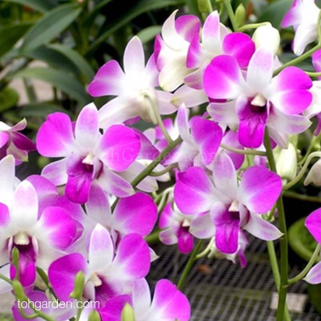 Dendrobium Eastern Vigor