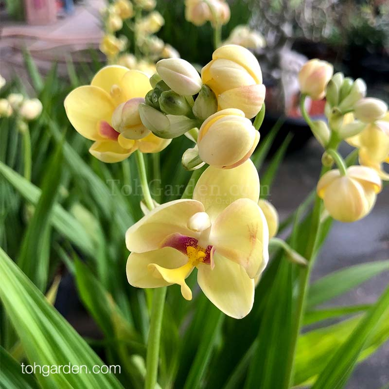 Spathoglottis Yellow