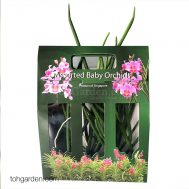 Baby Orchid Giftbox (Joaquim cuttings)