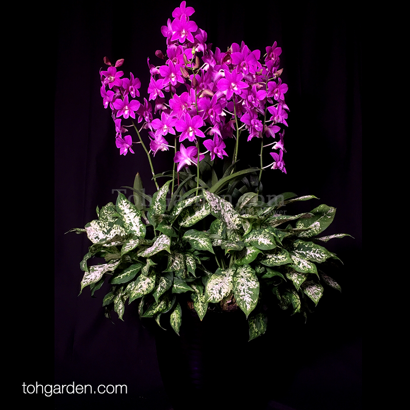 Dendrobium Mother Theresa with Compacta