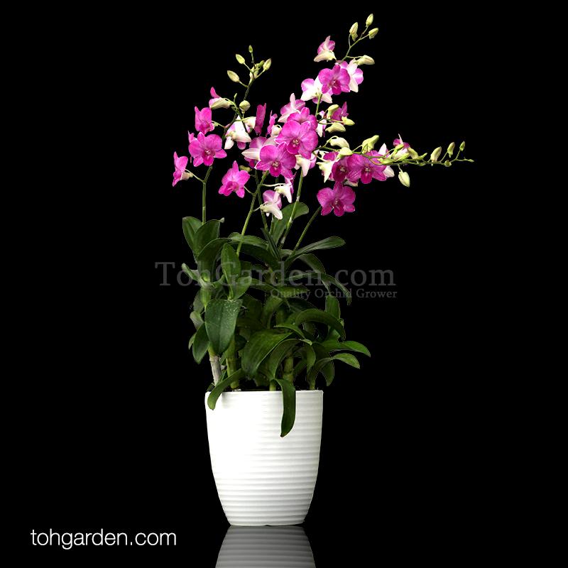 5-in-1 Dendrobium Toh Glory