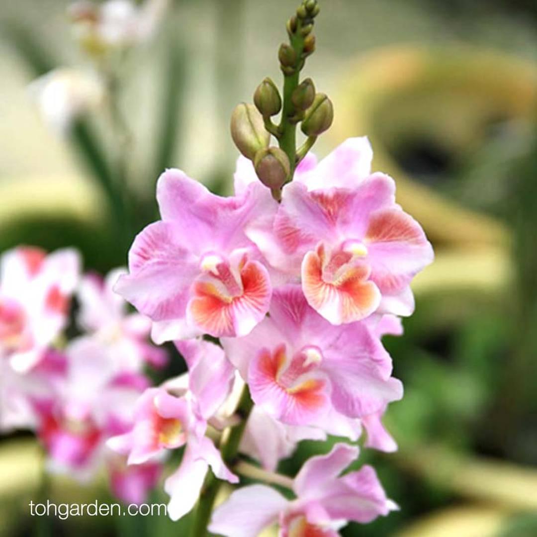 Papilaenopsis Hao Xiang Ni