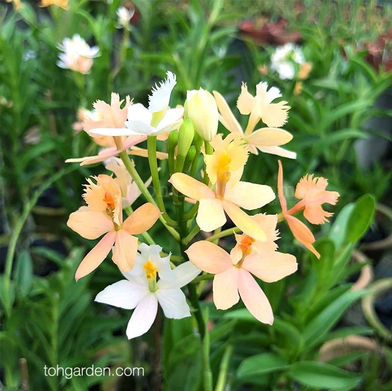 Epidendrum ibaguense (two tone)