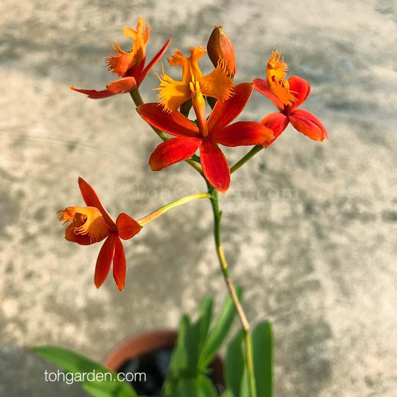 Epidendrum ibaguense (orange)