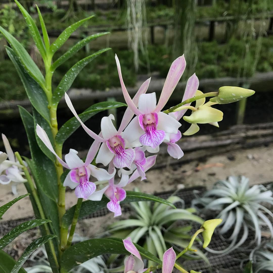 Dendrobium Lorraine Mortimer