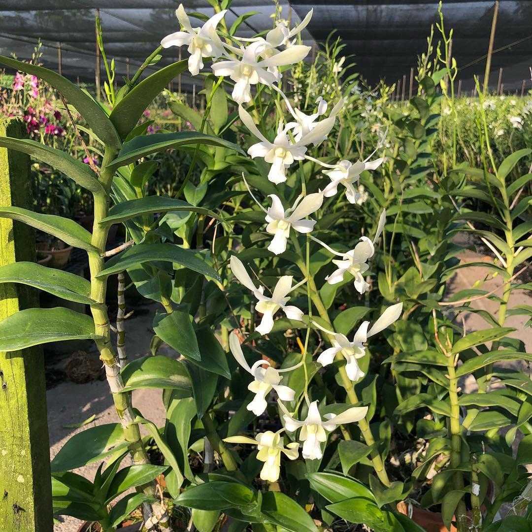White Dendrobium Hybrid