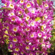 Japanese Dendrobium Nobile