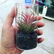 Tillandsia Ionantha in Glass Vial