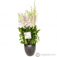 Dendrobium Lucian Pink (6 in 1)