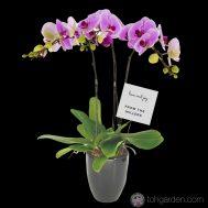Phalaenopsis Pink (3 in 1)