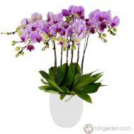 Phalaenopsis Pink (8 in 1)