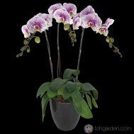 Phalaenopsis Pink Speckles (3 in 1)