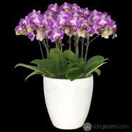 Phalaenopsis Purple Star (5 in 1)