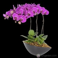 Phalaenopsis Red (3 in 1)