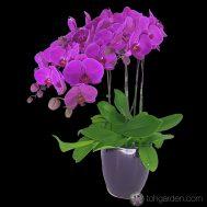 Phalaenopsis Red (4 in 1)