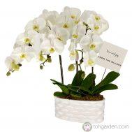 Phalaenopsis Sogo Yukidian (3 in 1)