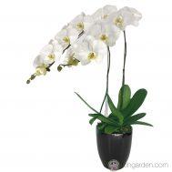 Phalaenopsis Sogo Yukidien (2 in 1)