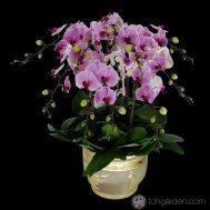 Phalaenopsis pink 10 in 1