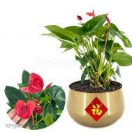 Anthurium in Gold Bowl