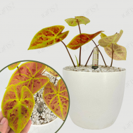 Caladium Red (彩叶芋) with Self watering Pot