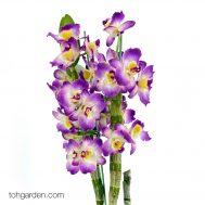 Purple Nobile Dendrobium