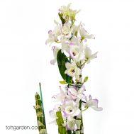 White Nobile Dendrobium