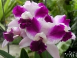 Cattleya Purple Cascade