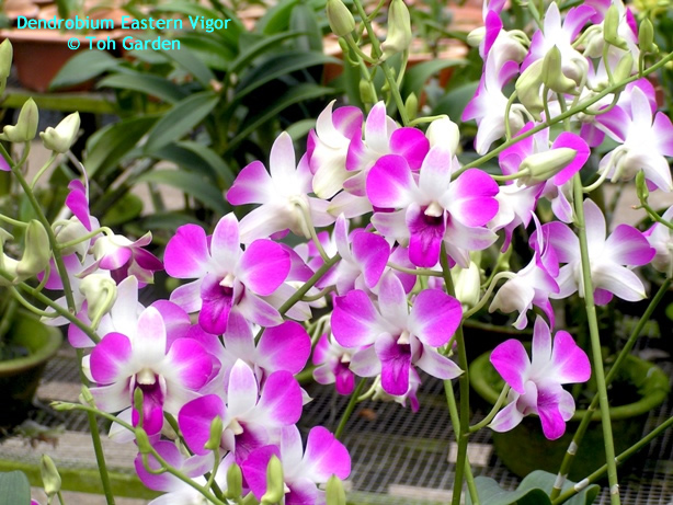 Dendrobium Eastern Vigor (Single Pot)