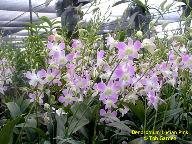 Dendrobium Lucian Pink (Single Pot)