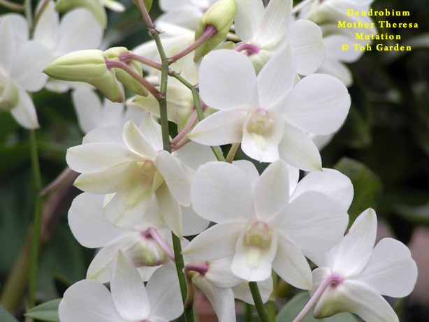 Dendrobium Mother Theresa Mutation (Single Pot)