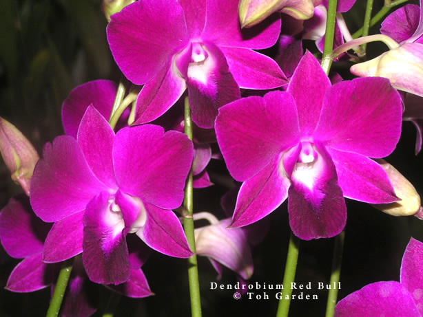 Dendrobium Red Bull (Single Pot)