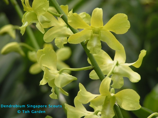 Dendrobium Singapore Scouts (Single Pot)