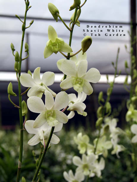 Dendrobium Shavin White (Single Pot)
