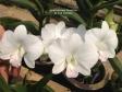 Dendrobium Pearline hybrid