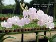 Dendrobium Champagne hybrid