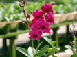 Dendrobium Tay Swee Keng Jr