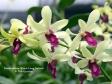 Dendrobium Woon Leng hybrid