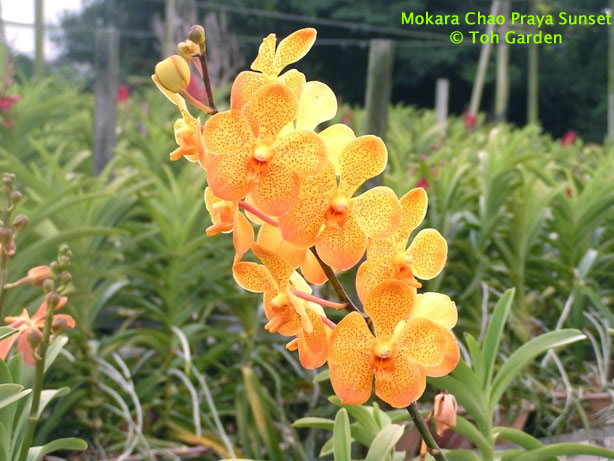 Mokara Chao Praya Sunset (Single Plant)