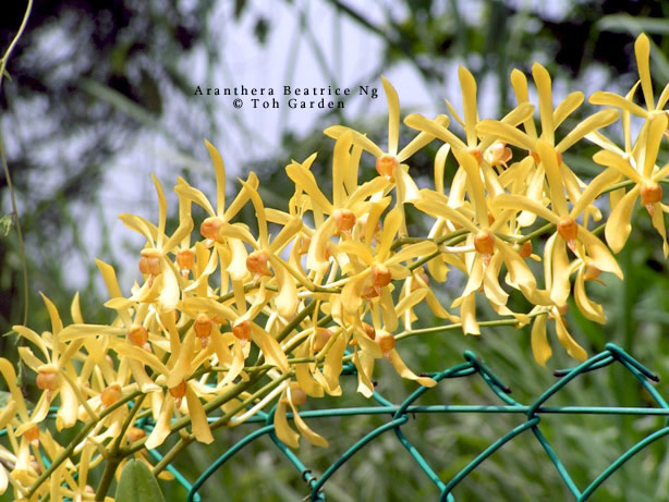 Aranthera Beatrice Ng (Single Plant)
