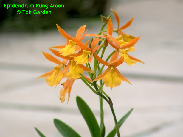 Epidendrum Rung Aroon (Single Pot)