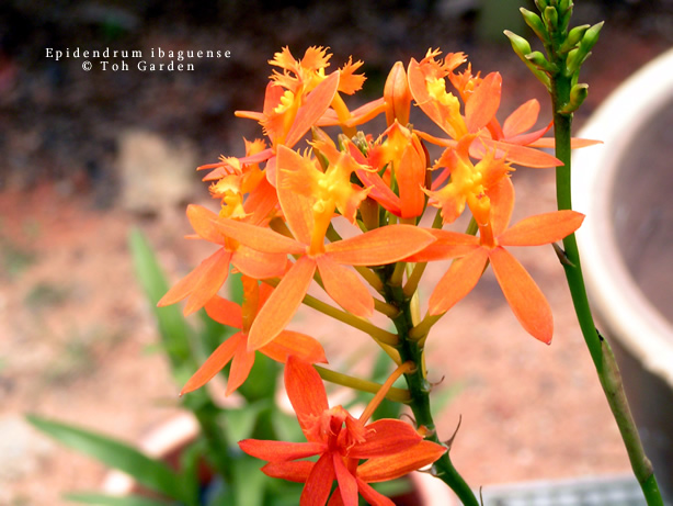 Epidendrum Orange (Single Pot)