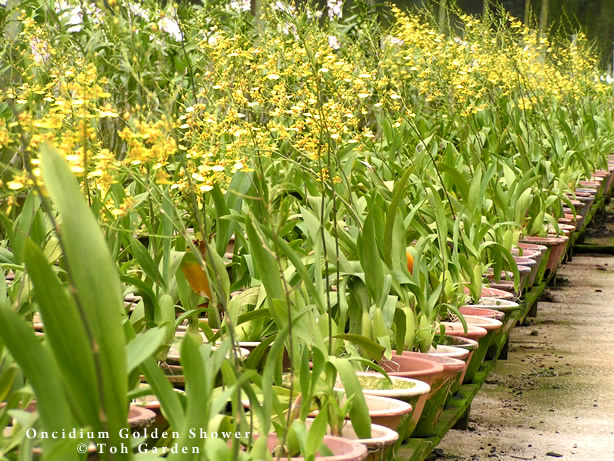 Oncidium Golden Shower (Single Pot)