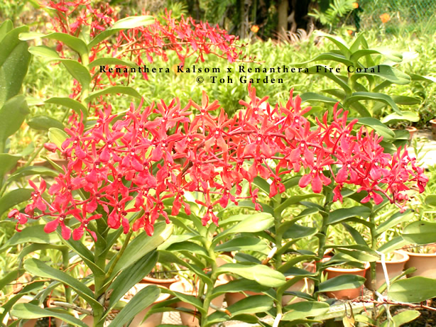 Renanthera (Kalsom x Firecoral) (Single Plant)