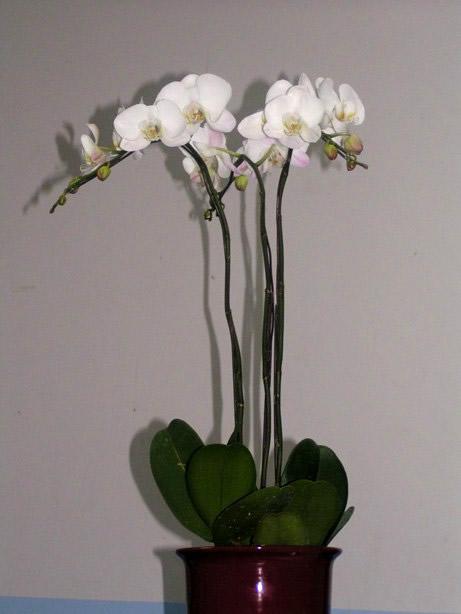 Phalaenopsis Triune White Arrangement