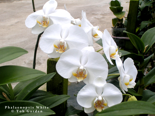 Phalaenopsis White (Single Plant)