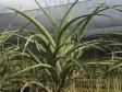 Tillandsia flexuosa (S/L)