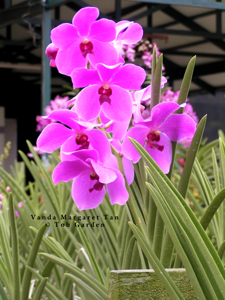 Vanda Margaret Tan (Single Plant)