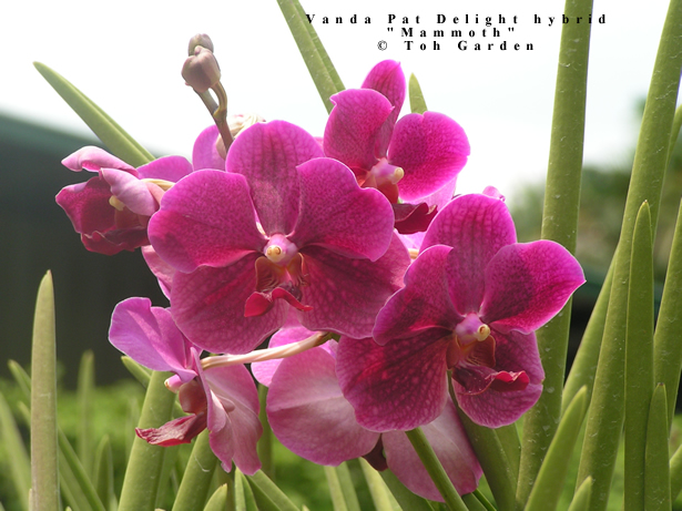 Vanda Pat Delight hybrid (Single Plant)