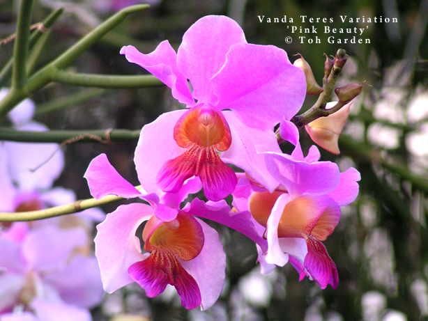 Vanda Teres Variation 'Pink Beauty' (Single Pot)