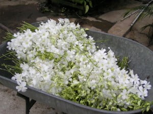 Fresh Dendrobium Snow White harvested..